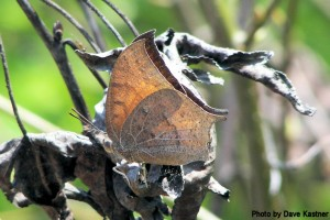 Goatweed Leafwing