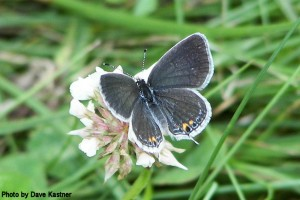 Eastern Tailed-Blue (2)