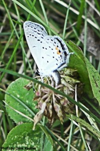 Eastern Tailed-Blue Ovipositing
