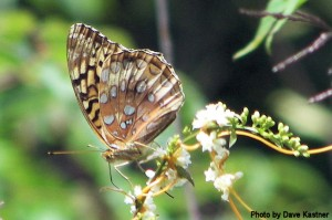 Great Spangled Fritillary (2)