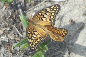 Variegated Fritillaries Mating - Wings Open