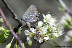 Juniper Hairstreak (2)