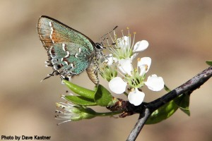 Juniper Hairstreak (3)