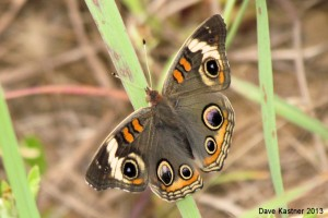 Common Buckeye Dorsal (Hor)
