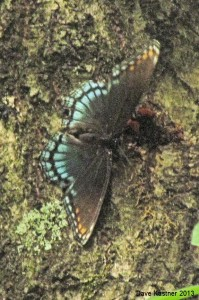 Red-spotted Purple Dorsal