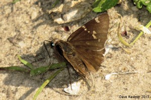 Southern Cloudywing Dorsal