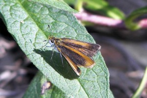 Least Skipper (1)