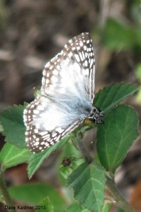 Tropical Checkered-Skipper 1a