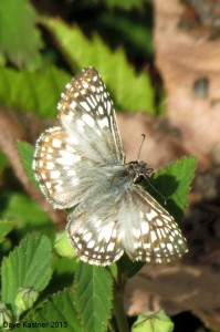 Tropical Checkered-Skipper 1b