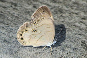 Appalachian Brown (1)