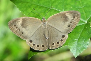 Appalachian Brown (2)