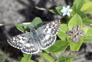 Checkered Skipper Species