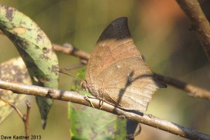 Goatweed Leafwing 1