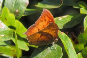 Goatweed Leafwing 2