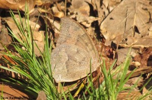 Goatweed Leafwing 3