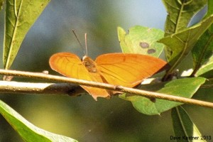 Goatweed Leafwing 4
