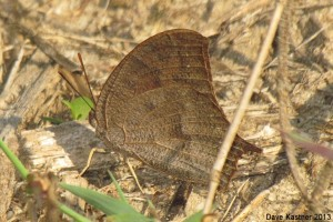 Goatweed Leafwing 5