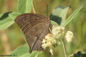 Goatweed Leafwing 6
