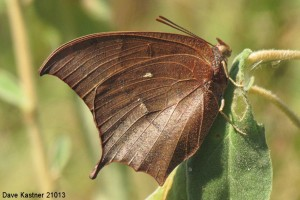 Goatweed Leafwing 7