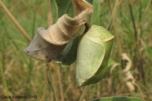 Goatweed Leafwing Chrysalis