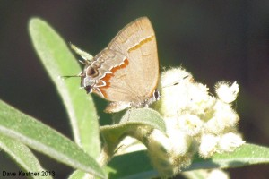 Red-banded Hairstreak