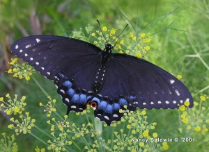 Female Black Swallowtail on Fennel