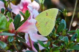 Cloudless Sulphur on Autumn Azalea