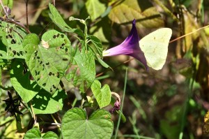 Cloudless Sulphur on Morning Glory