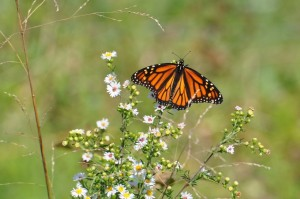 Monarch on Frost Aster