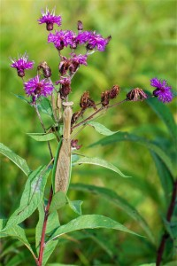 Mantis on Ironweed