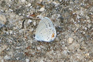 Sandhills: Eastern-Tailed Blue