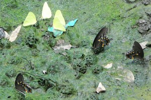 Spicebush Swallowtails Puddling