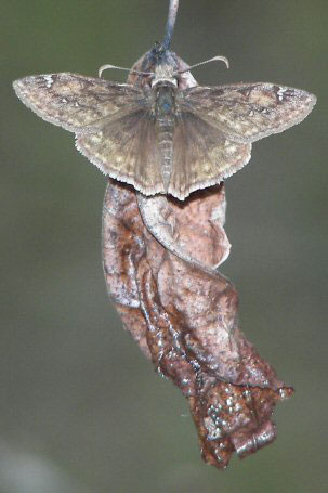 horaces-duskywing-wp-2008